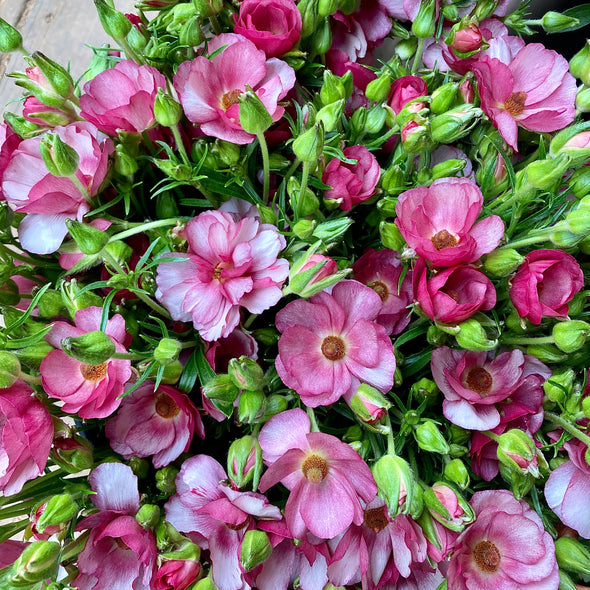 Fresh Cut Flowers shipped || Cherry Butterfly Ranunculus