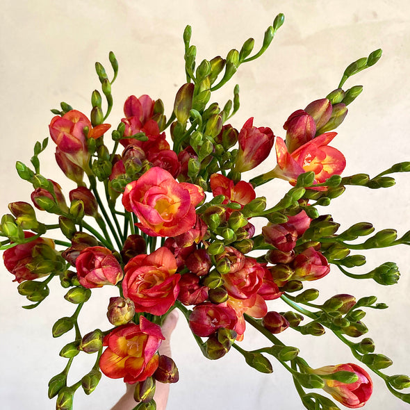 Fresh Cut Flowers Shipped || Peachy Queen Freesia