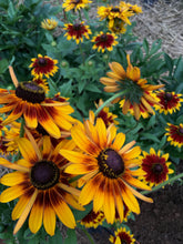 Load image into Gallery viewer, Rudbeckia- Cherokee Sunset Mix