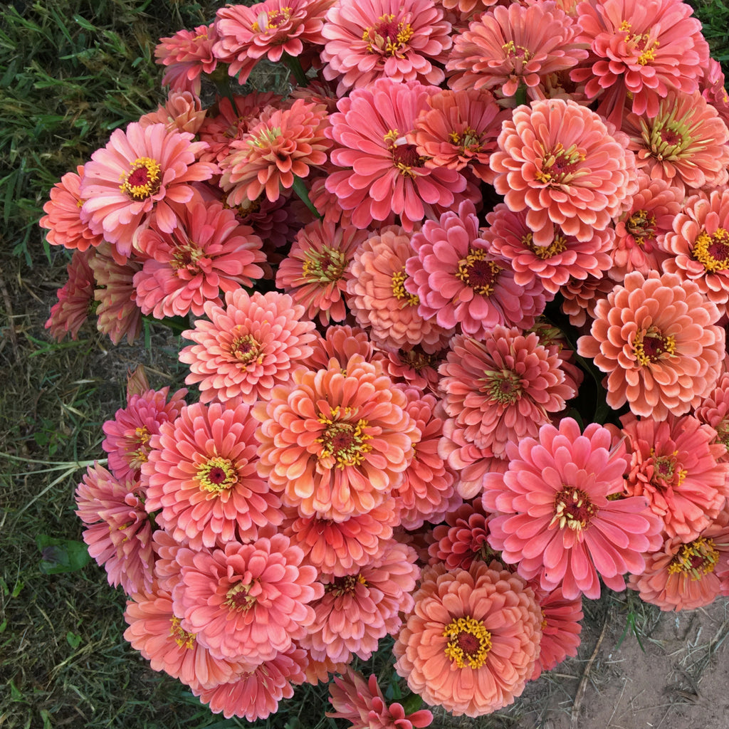 Seeds || Zinnia 'Benary Salmon Rose'