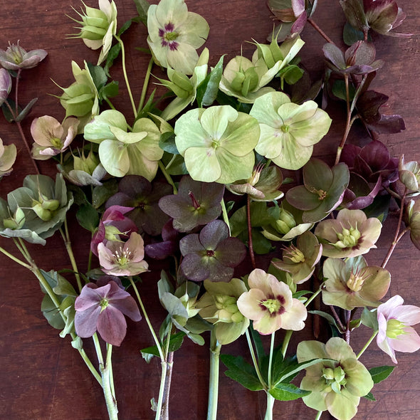 fresh cut flowers shipped || Hellebore Bundles !