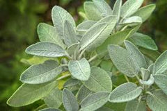 Herbs || Common Sage