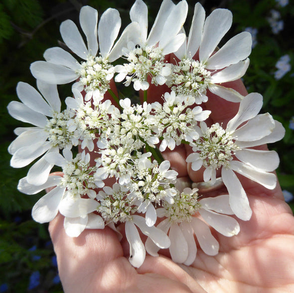 White Lace Flower Seeds || Shipped