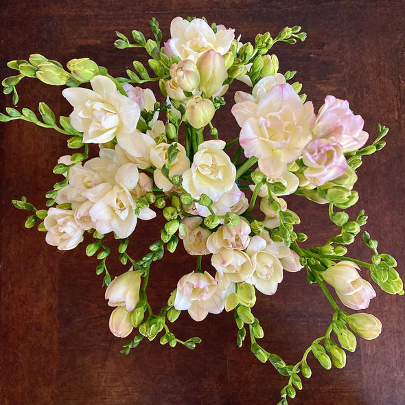 Fresh Cut Flowers Shipped || Rosy White Italian Freesia