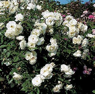 Shrub Rose || Iceberg