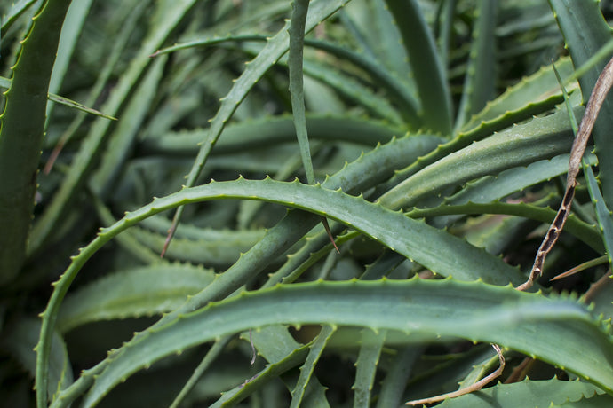 The Benefits of Aloe Vera for the Skin