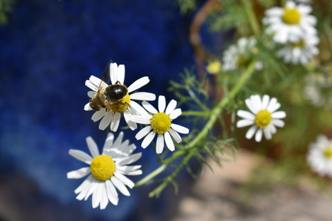 Chamomile for age spots