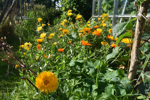 Calendula in our garden