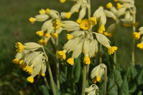 cowslips 2021