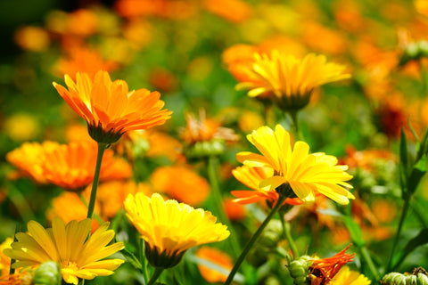 Calendula Benefits for the Skin