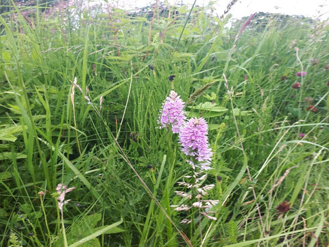 orchids of mid summer along the canal