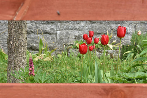 tulips and lupins