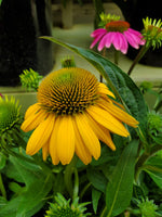 Echinacea Assorted Colours