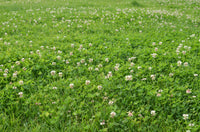 Grass Seed White Clover