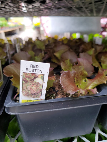 Lettuce Red Boston Plant
