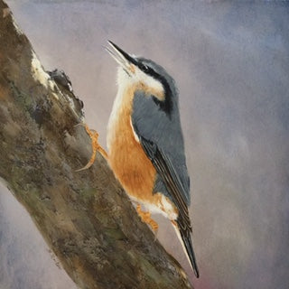 susan reiter ~ Red-breasted Nuthatch