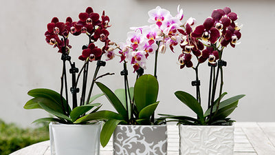 Orchideen im Set