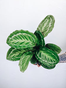 Calathea Roseopicta 'Jungle Cat' - 6""