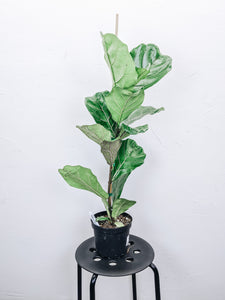 Fiddle-Leaf Fig 'Ficus Lyrata' - 6""