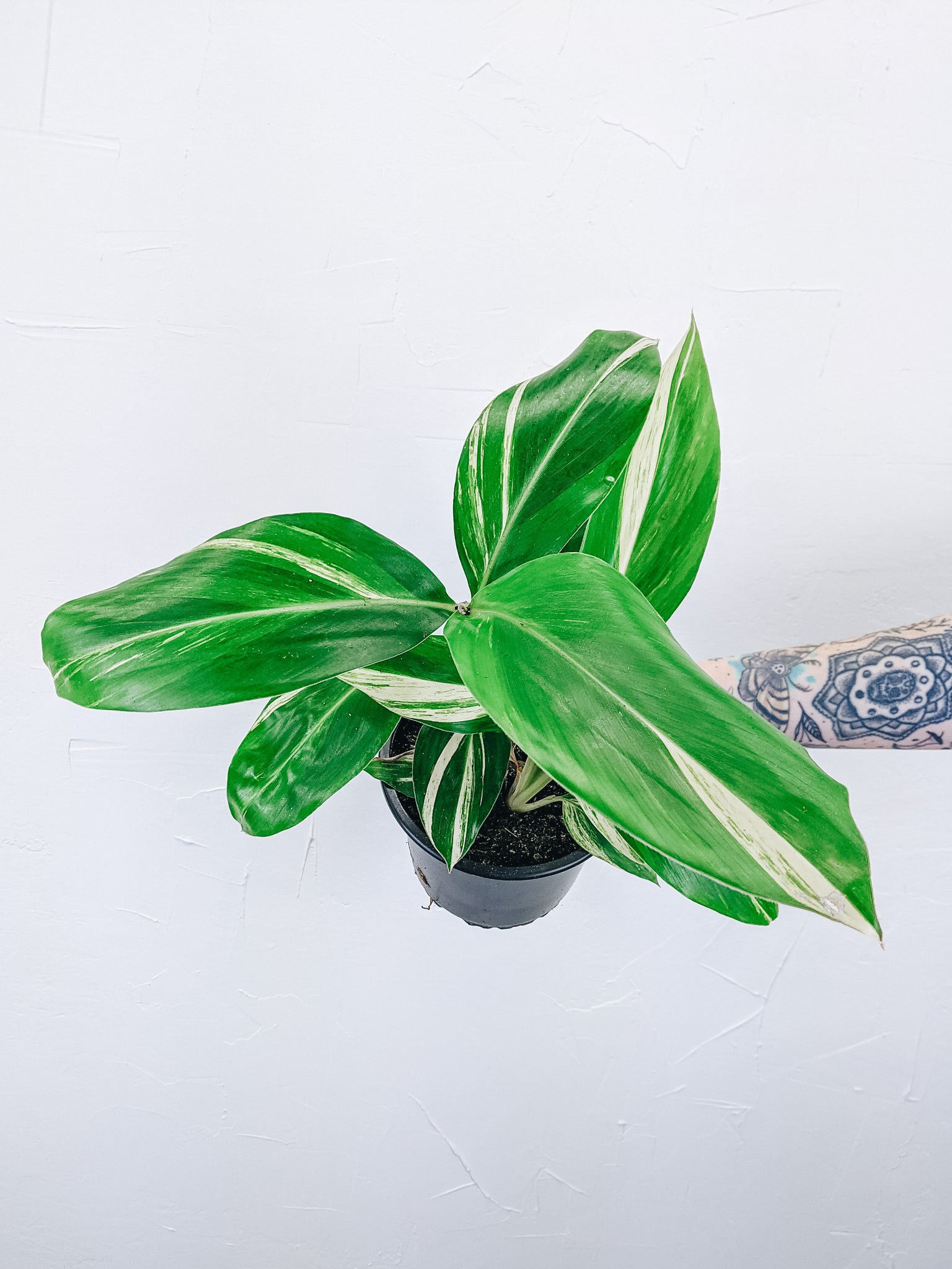 Alpinia Zerumbet 'Variegated Ginger Plant' - 6""