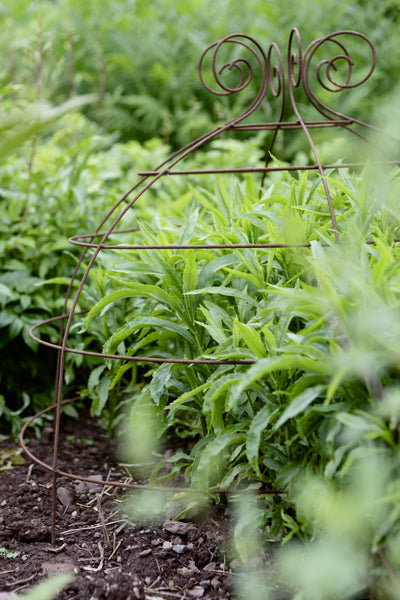 Grow through plant supports, rusty wire frames - George Belle - Great for floppy perennials like Sedum, Phlox, Aster, Penstomon