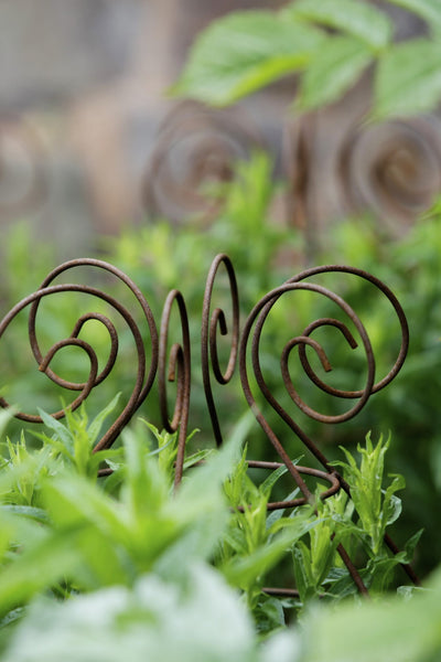 Grow through plant supports, rusty wire frames - Ernest Belle - Great for floppy herbaceous perennials, seen here at Knightshayes Court National Trust Gardens