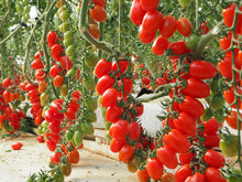 Load image into Gallery viewer, Premium Datterini Tomatoes ~500gr