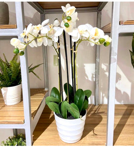 Phalaenopsis x5 in White Pot 61cm