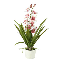 Load image into Gallery viewer, Potted Orchid Cymbidium 66cm