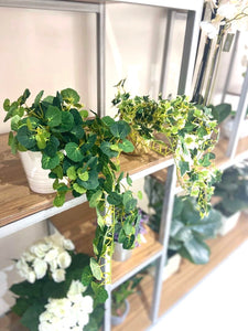Potted Ivy Trailing
