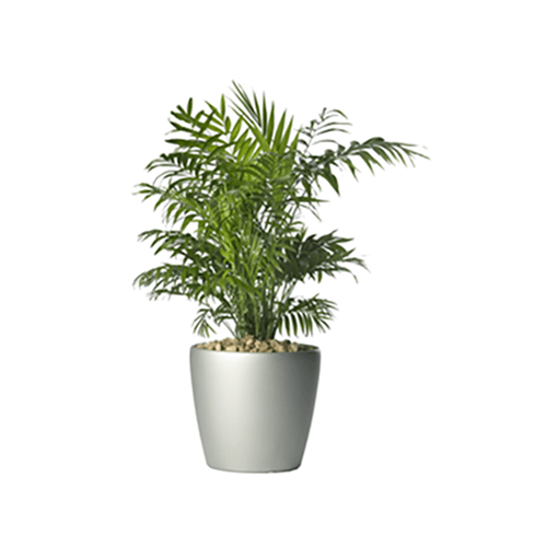 Parlour Palm - Business Base