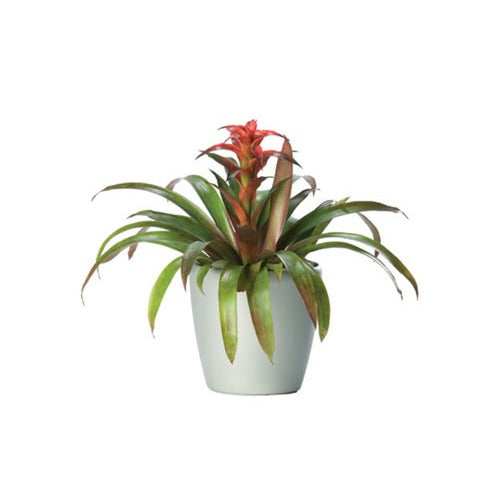 Bromeliad - Business Base