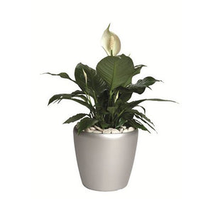 Peace Lily - Business Base