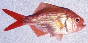 Tropical Snapper 500g