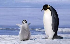 🐧 Adult penguin and their baby