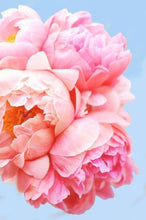 Load image into Gallery viewer, Pink Picasso Paint By Numbers Kit - Perfect Petals