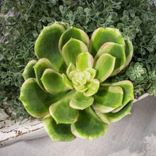 Load image into Gallery viewer, Soft Echeveria Succulent Pick