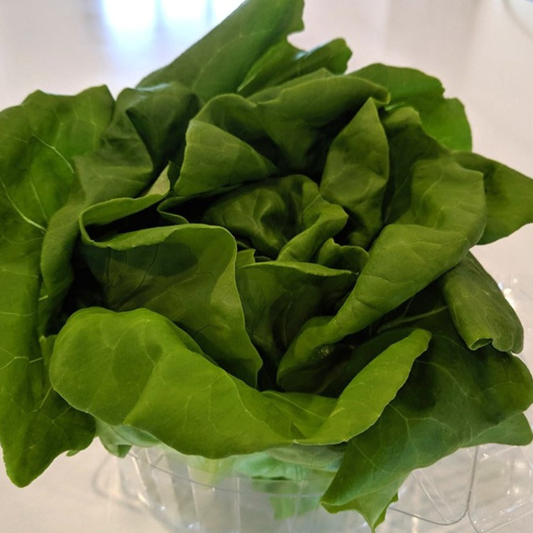 Boston Lettuce (Heritage Grown)