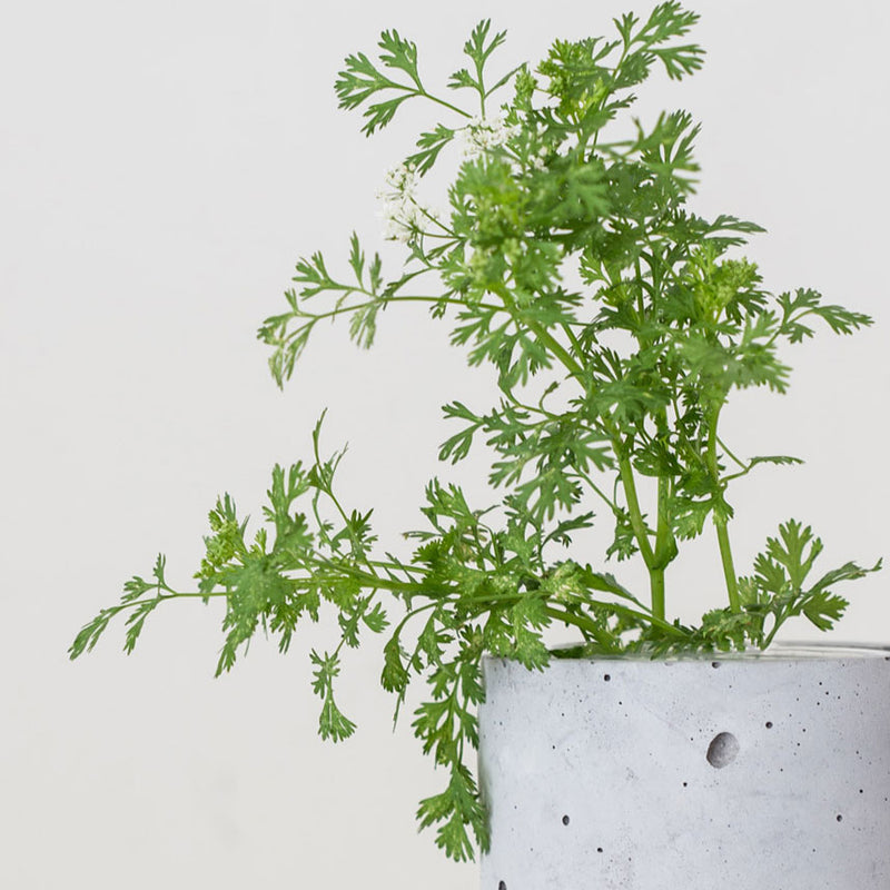 concrete planter with Parsley