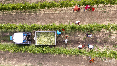 Grape Harvest 2020: Highlights of the Most Important Activity