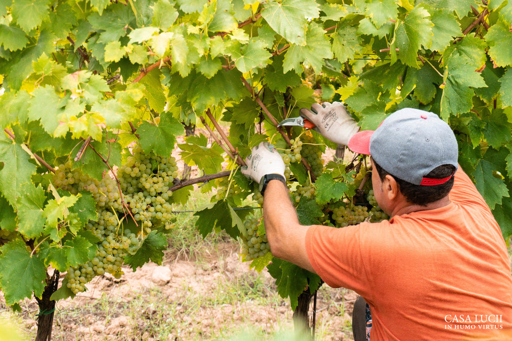 grape harvest 2020-casa lucii