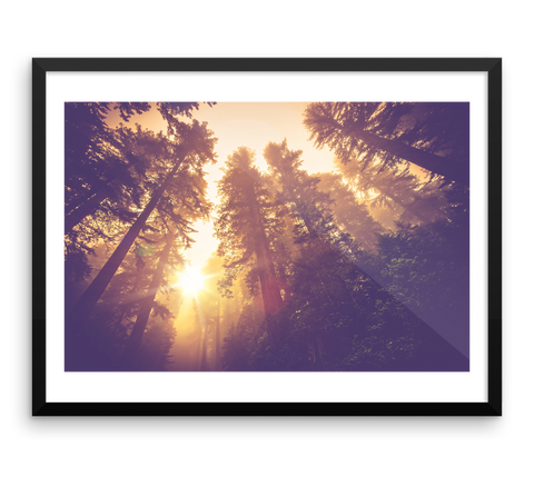 Wall Art / Redwood Tree Forest at Sunrise - Cal31.com