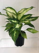 "Load image into Gallery viewer, 4"" Dieffenbachia Plant"