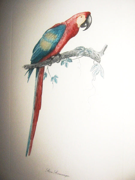 Ara Aracanga Cuban Bird Lithograph Botanical Art - Designer Unique Finds   - 1