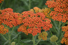 Load image into Gallery viewer, Achillea, Yarrow  Perennial