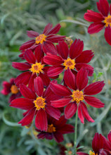 Load image into Gallery viewer, Coreopsis, Tickseed (Perennial)