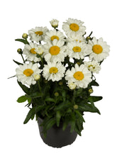 Load image into Gallery viewer, Leucanthemum, Shasty Daisy (Perennial)