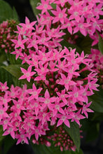 Load image into Gallery viewer, Pentas, Butterfly Flower