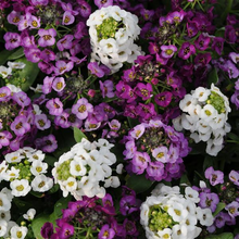 Load image into Gallery viewer, Alyssum