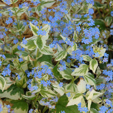 Load image into Gallery viewer, Brunnera (Perennial)
